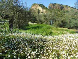 Greek olive landscape spangled with chamomile III by Paul774