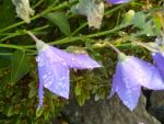 Raindrops on Purple Flowers by DerpyDash64