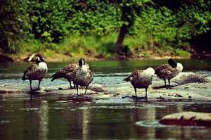 Gutsy Geese by WaywardPhotography