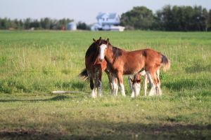 Clydesdales 3 by okbrightstar-stock