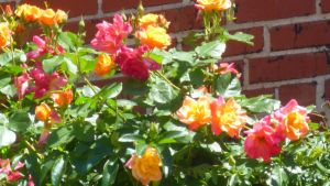 Multi Colored Roses 1 by FallenAngel1059
