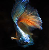 Natsu, the Betta Fighting Fish by HappyBettas