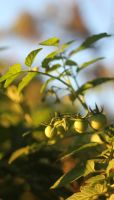 Premature Nature, Tomatoes by fatelessflawless