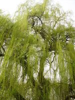 Weeping Willow by princess-of-crows