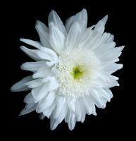 Pretty White Flower by wb-skinnerstock