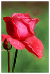 rose speed study I by Ametystical
