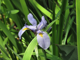 Single Iris by Sherrys-Camera