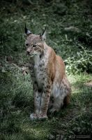 Lynx VI by FGW-Photography