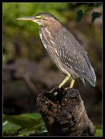 Green Heron by AlexCphoto