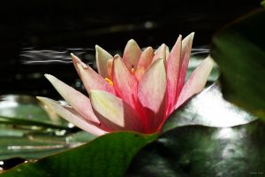 Water lily by George---Kirk