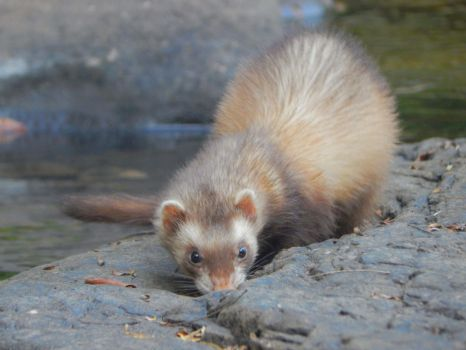 Chocolate Polecat by WeaselWomanCreations