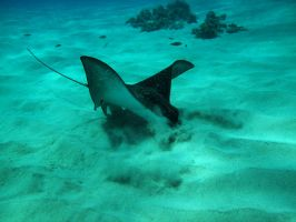 Hunting Eagle Ray by X5-442