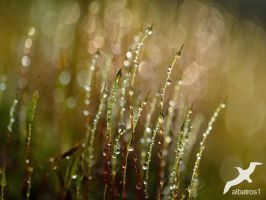 Morning Dew by albatros1