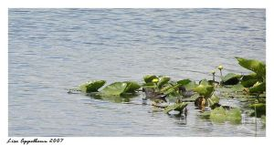 Moorhens Amid the Waterlilies by Cillana