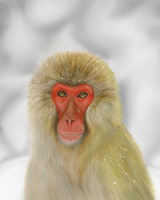 Japanese Macaque by tree27
