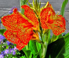 'Cleopatra' Canna Lily by Kitteh-Pawz