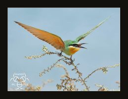 BLue-Cheeked Bee-Eater by ahmedalali