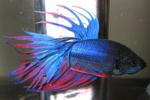 Blue Betta 2 by mariannemason