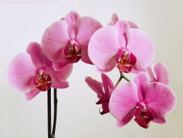 Orchid by rosaarvensis