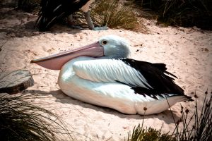 Relaxed Pelican by designersquids