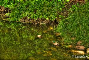 Ducks by chriskronen