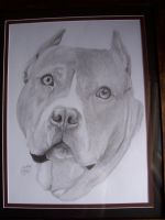 Pit Bull by LindseyTaylor