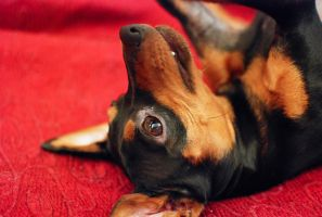 Kiro The Pinscher by Doroty86
