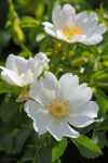 White dog rose by Jorapache