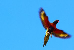 Wild Rainbow Lorikeet in flight by N-ScapePhotography