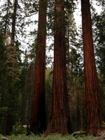 Three Sequoias by livdrummer