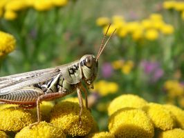 Grasshopper's choice. by sweatangel