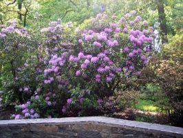 NYBG - rhododendron 3 by bunnytrybe