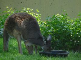 Wallaby 03 by Unseelie-Stock