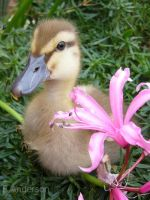 Ducki with Pink Flower by Kokako