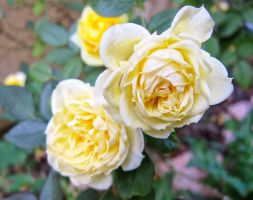 Dainty Rose by zootnik