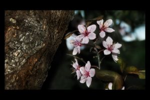 Cherry Blossom III by digitaldreamz666