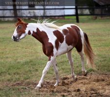 chestnut tobiano stallion 3 by venomxbaby