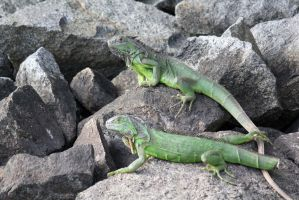 Two Iguanas by firenze-design