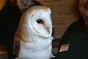 Barn Owl by edthefred