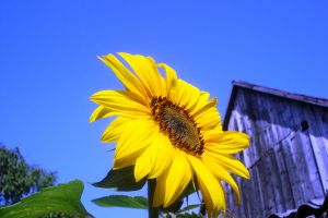 sunflower by Polin-Sam
