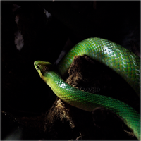 Red-Tailed Green Racer by RowennaCox