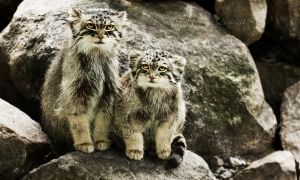 The Pallas's Cats by PictureByPali