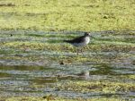 Solitary Sandpiper by AppleBlossomGirl