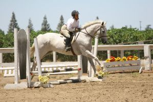 Gray Warmblood Gelding Hunter Jumper by HorseStockPhotos