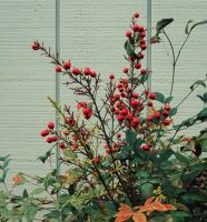 Red Berries by Humble-Novice