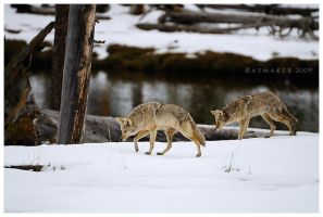 Coyote Couple by Raymaker