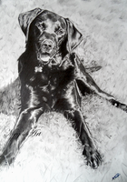 Labrador Pencil Drawing by stardust12345