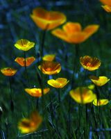 Poppies reworked by kayaksailor
