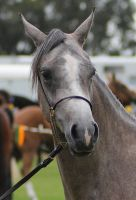 Grey Horse by mintymintymid