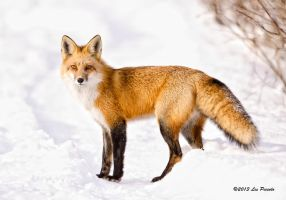Red Fox 4 by Les-Piccolo